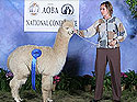Zoe wins blue ribbon in her class at the National Show of the Alpaca Owners and Breeders Association.